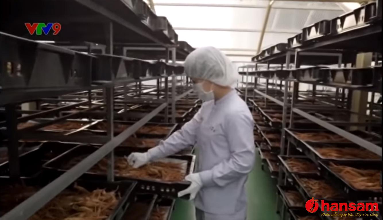 Nhân sâm Hàn Quốc nguồn dược liệu quý (Nguồn VTV)